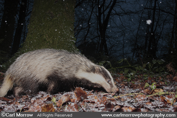 Badger foraging in winter.