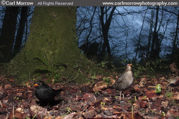 Blackbird male and female