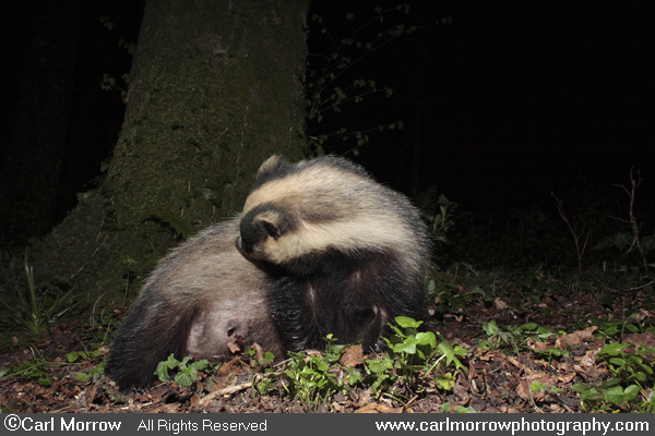 European Badger grooming