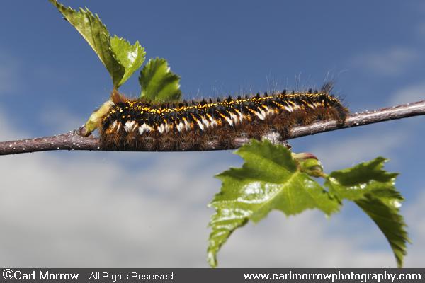 Drinker Moth Caterpillar