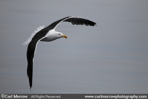Greater Black Backed Gull