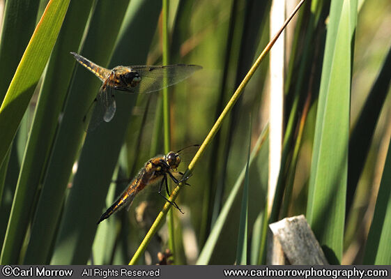 Four Spotted Chaser Dragonflies