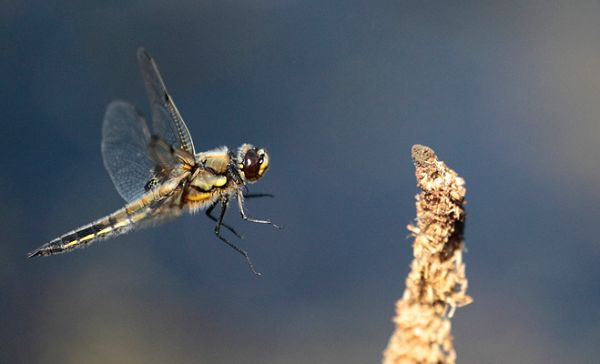 Four Spotted Chaser Dragonfly approach flight.