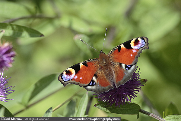 Peacock Butterfly on Knapweed