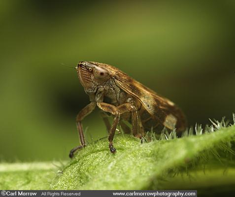 Leafhopper juvenile