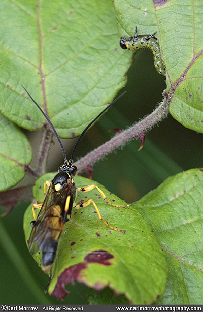 Ichneumon Wasp sizing up a sawfly larvae.