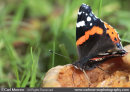 Red Admiral butterfly on a rotten windfall apple.