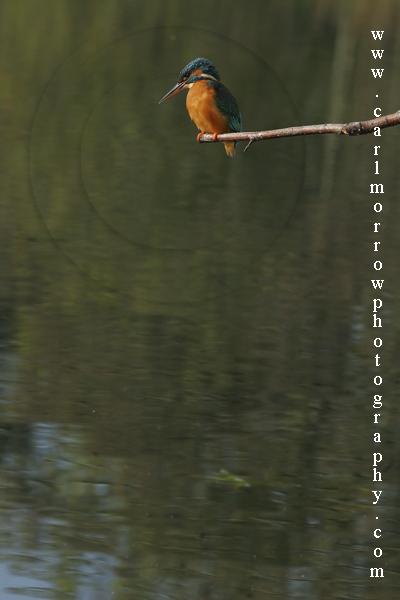 A Kingfisher waits....