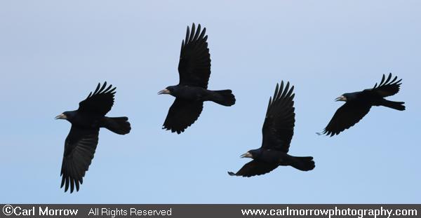 Rooks in flight