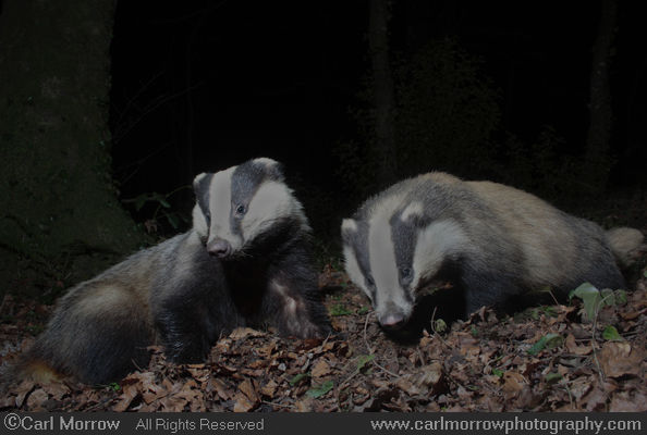 Badger pair.