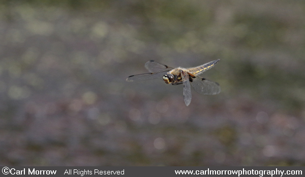 Four Spotted Chaser Dragonfly in flight