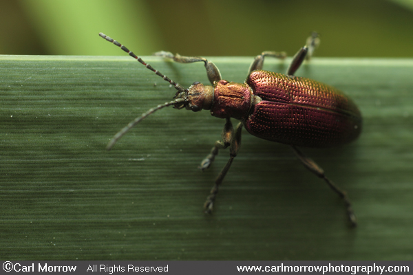 A Reed Beetle
