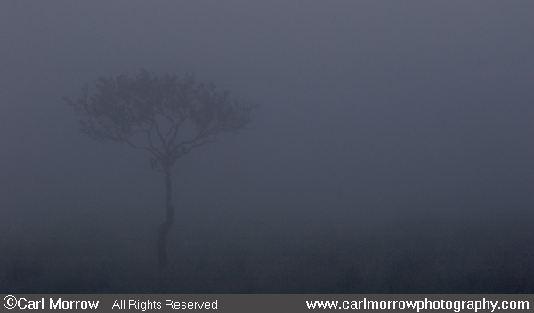 A lone tree in the fog at first light