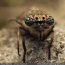 Horse Fly compound eyes