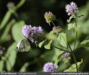 Green Veined White Butterfly on Water Mint