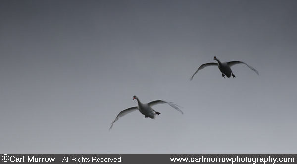 Mute Swans' approach flight