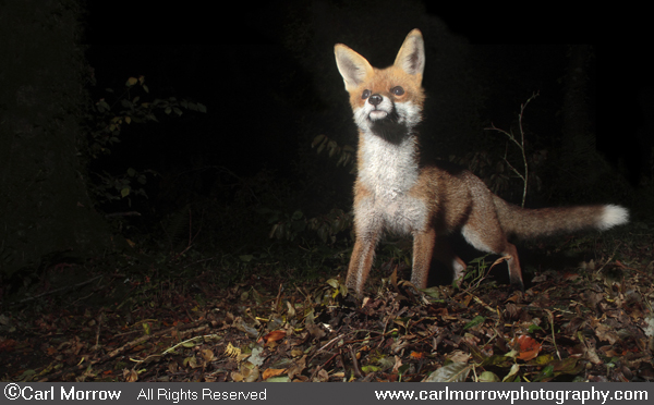 Red Fox foraging in woodland at night.