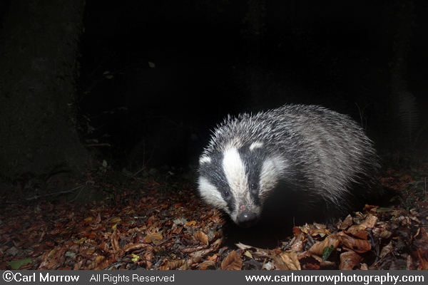 Badger out and about.