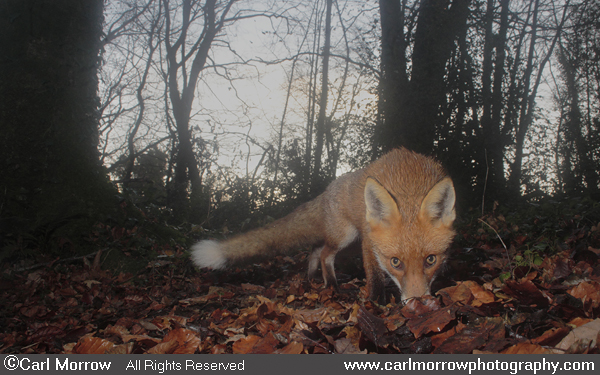 Red Fox in woodland.