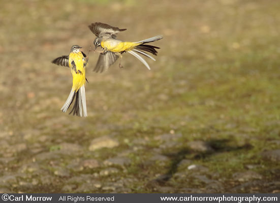 Fighting Grey Wagtails