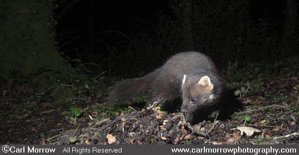 Pine Marten foraging in woodland.