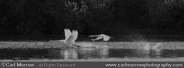 Mute Swans taking flight