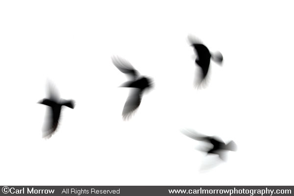 Rooks in flight (abstract)