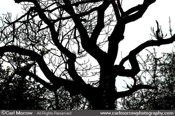 Ash Tree Silhouette