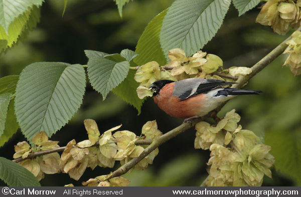Bullfinch feeding on Wych Elm