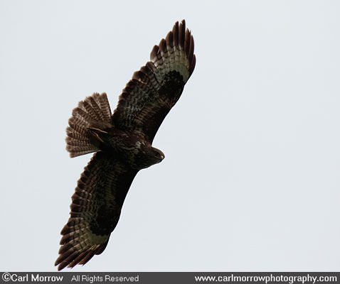 A soaring Common Buzzard