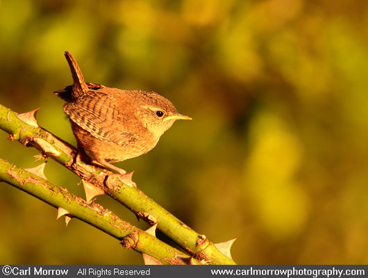Sunset light on a Wren