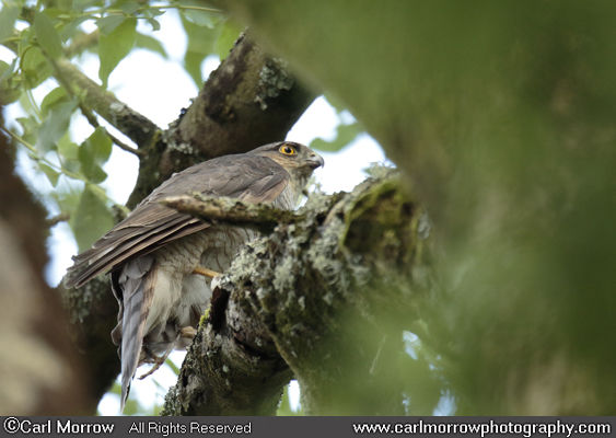 Sparrowhawk in woodland.
