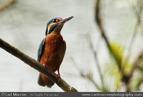 Kingfisher female
