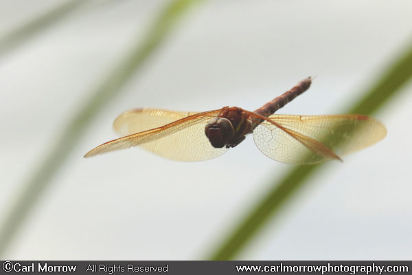 Brown Hawker Dragonfly in flight