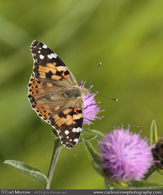 Painted Lady Butterfly on Knapweed