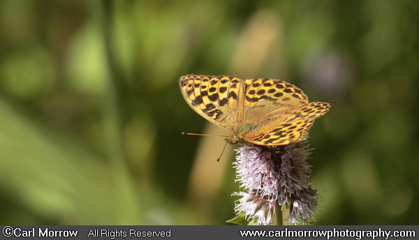 Silver Washed Fritillary on Watermint.