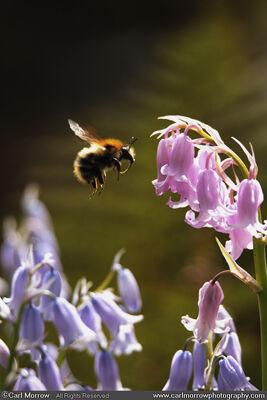 Bluebells and Bumblebee