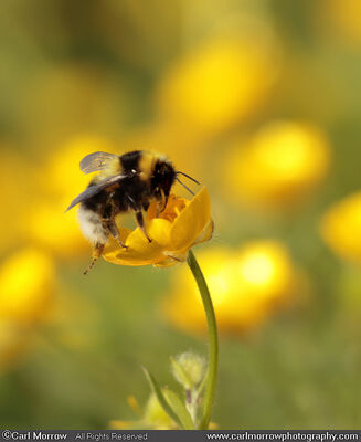 Bumblebee on Creeping Buttercup