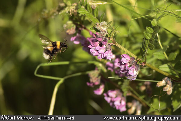 Bumblebee approach flight to Vetch.