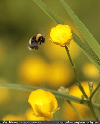 Bumblebee on Creeping Buttercup