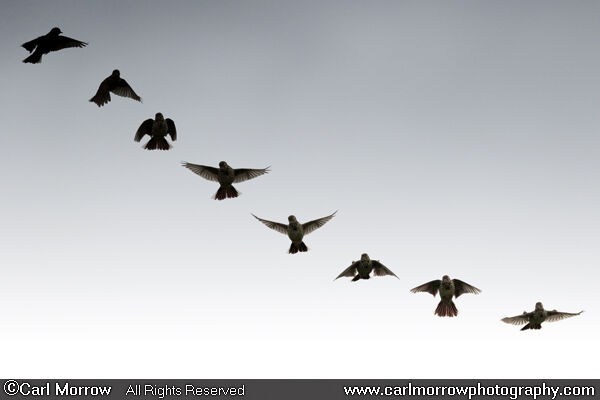 Meadow Pipit descending flight sequence. (8 images blended together)