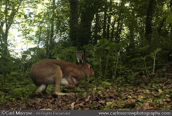Irish Hare in woodland