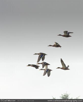 Wild Mallard Ducks in flight