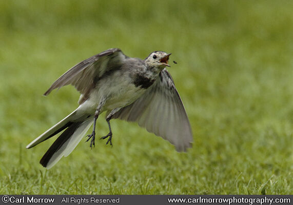 Pied Wagtail chasing insects