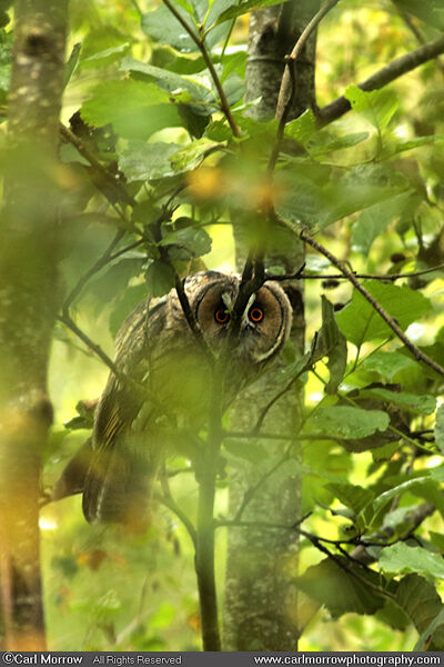 Long Eared Owl (juvenile)