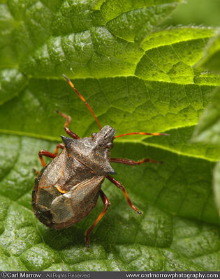 Forest Shield Bug