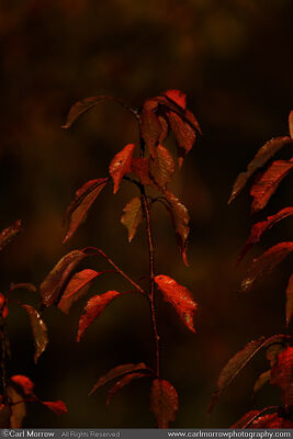 Autumn light on Cherry leaves
