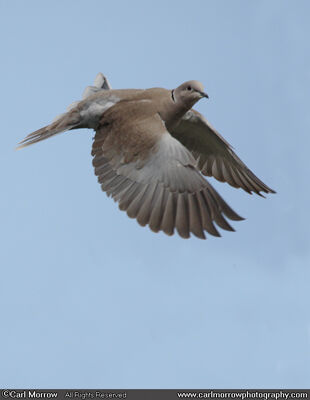 Collared Dove in flight