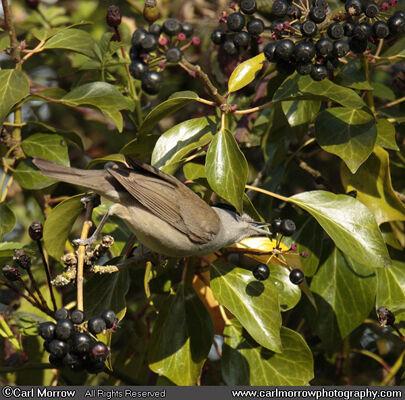 Blackcap feeding on Ivy berries