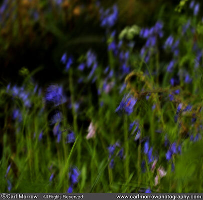 Bluebells (abstract)